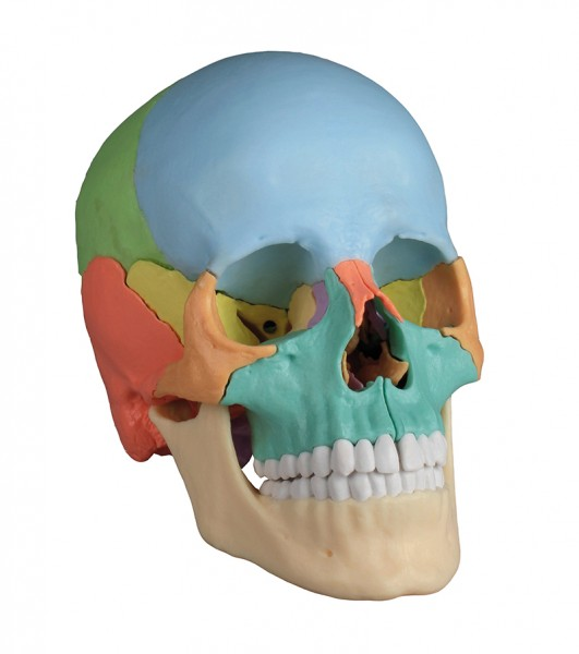 Osteopathie-Schädelmodell, 22-teilig, didaktische Ausführung