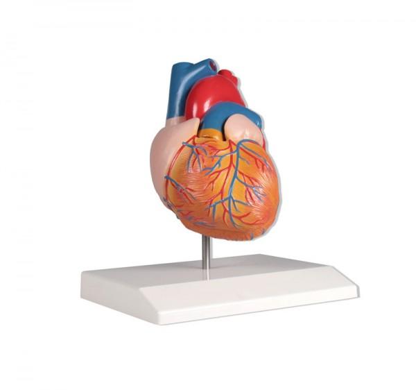 Herzmodell, natürliche Größe, 2 Teile